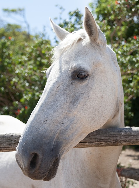 portrait-of-a-white-horse-3045319_640